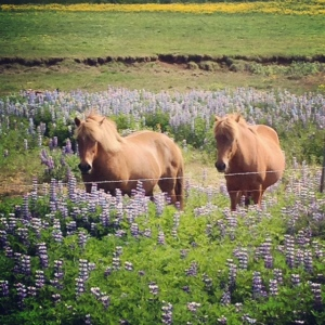 Horses in a field full of purple flowers