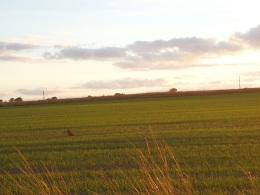 Pheasant in a field